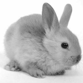 Szybki królik